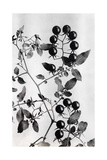Close View of the Peruvian Tree Tomato and its Blossoms and Leaves Giclee Print by O. F. Cook