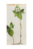 A Sprig of Bunchberry Dogwood Blossoms and Berries Giclee Print by Mary E. Eaton
