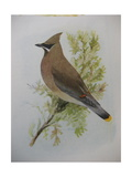 A Painting of a Cedar Waxwing Perched on a Tree Branch Giclee Print by Louis Agassi Fuertes