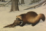 A Painting of a Wolverine Dragging Away an Animal Killed by a Snare Giclee Print by Louis Agassi Fuertes