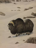A Painting of a Musk-Ox Standing in the Snow Giclee Print by Louis Agassi Fuertes