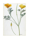 A Sprig of California Poppy Giclee Print by Mary E. Eaton