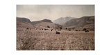 Cattle, Who Will Later Be Given as a Bantu Dowry, Graze in a Field Fotografisk tryk af Melville Chater