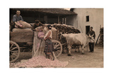 Bulgarians Unload Roses for Distillation from Sacks on Ox Cart Fotografiskt tryck av Wilhelm Tobien