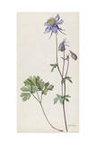 A Painting of a Sprig of Colorado Blue Columbine Giclee Print by Mary E. Eaton