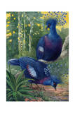 A View of the Flimsy Crests of Two Victoria Crowned Pigeons Giclee Print by Hashime Murayama
