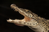 A Critically Endangered Cuban Crocodile, Crocodylus Rhombifer Photographic Print by Joel Sartore