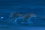 A Leopard, Panthera Pardus, Running in the Darkness of Night Photographic Print by Sergio Pitamitz