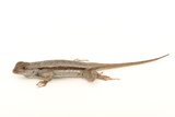 A Florida Scrub Lizard, Sceloporus Woodi Photographic Print by Joel Sartore