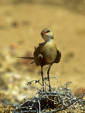 Portrait of an Australian Pratincole or Australian Roadrunner, Stiltia Isabella Photographic Print by Medford Taylor