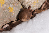 A Winter Wren, Troglodytes Hiemalis, Foraging Between a Rock Wall and a Snow Bank Photographic Print by Darlyne A. Murawski
