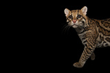 An Ocelot, Leopardus Pardalis, at the Omaha Zoo Photographic Print by Joel Sartore