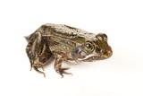 A Juvenile Southern Leopard Frog, Lithobates Sphenocephalus Photographic Print by Joel Sartore