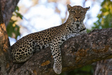 Portrait of a Female Leopard, Panthera Pardus, Resting in a Tree, Looking at the Camera Photographic Print by Sergio Pitamitz