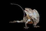 A Frilled Lizard, Chlamydosaurus Kingii, at the Lincoln Children's Zoo Photographic Print by Joel Sartore