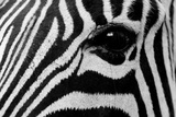 Close Up of a Burchell's Zebra Eye, Equus Burchelli Photographic Print by Sergio Pitamitz