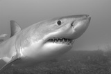 Close Up Portrait of a Great White Shark, Carcharodon Carcharias Photographic Print by Jeff Wildermuth