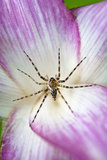 A Tiny Spider Inside Bright Pink Petals Waits to Ambush Prey Attracted to the Flower Photographic Print by Jason Edwards
