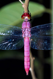 A Delicate Pink Skimmer Dragonfly Roosting on a Twig in the Amazon Rainforest at Night Photographic Print by Jason Edwards
