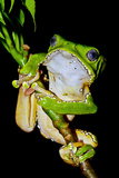 A Bright Green Giant Leaf Frog Holding onto a Rainforest Plant Stem Using its Long, Wide Toe Pads Photographic Print by Jason Edwards