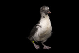 A Least Auklet, Aethia Pusilla, at the Cincinnati Zoo Papier Photo par Joel Sartore