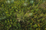 Greenthread, Navajo Tea, or Hopi Tea, Thelesperma Filifolium, in Bloom, and a Clump of Grass Photographic Print by Michael Forsberg