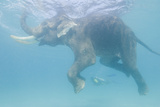 Rajan, the Elephant, Swims Near a Diver in the Andaman Islands, India Fotografisk tryk af Cesare Naldi