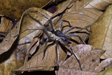 A Wolf Spider Is an Agile and Fierce Hunter Searching for Prey in the Leaf Litter Photographic Print by Jason Edwards