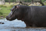 Portrait of a Hippopotamus, Hippopotamus Amphibius, Walking in Water Photographic Print by Sergio Pitamitz