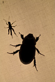 The Silhouette of a Beetle and Grasshopper Resting on Tent Canvas in the Amazon Rainforest at Night Photographic Print by Jason Edwards
