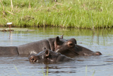 Two Hippopotamuses, Hippopotamus Amphibius, Mostly Submerged in the Water Photographic Print by Sergio Pitamitz