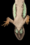 The Underside of a Florida Scrub Lizard, Sceloporus Woodi Photographic Print by Joel Sartore