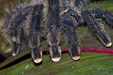 The Hairy Segmented Legs and Pink Feet of a Pinktoe Tarantula Photographic Print by Jason Edwards