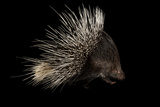 Indian Crested Porcupine, Hystrix Indica, at the Omaha Zoo Photographic Print by Joel Sartore