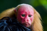 The Bright Red Face of a Bald Uakari Resting on the Head of an Amazonian Indian Photographic Print by Jason Edwards