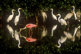 A Single Roseate Spoonbill Feeds Among Great Egrets in Mrazek Pond, Everglades National Park Photographic Print by Medford Taylor