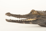 A Federally Endangered African Slender Snouted Crocodile, Mesistops Cataphractus Photographic Print by Joel Sartore