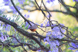 A Rufous Bellied Thrush, Turdus Rufiventris, on a Jacaranda Tree Branch in Ibirapuera Park Photographic Print by Alex Saberi