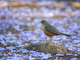 A Rufous Bellied Thrush, Turdus Rufiventris, Surrounded by Purple Petals in Ibirapuera Park Photographic Print by Alex Saberi