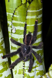 A Peruvian Pinktoe Tarantula Descending the Striped Trunk of a Bromeliad Photographic Print by Jason Edwards