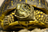 Close Up Portrait of an Ornate Box Turtle, Terrapene Ornata Fotodruck von Michael Forsberg