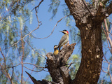 Two Green Barred Woodpeckers Perching in a Tree Photographic Print by Alex Saberi