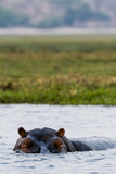 An Alert and Aggressive Nile Hippopotamus Surfaces When a Boat Approaches Too Closely Fotografisk trykk av Jason Edwards