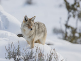 A Coyote Stands Alert in Deep Snow Photographic Print by Tom Murphy