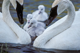 A Pair of Adult Trumpeter Swans Cared for their Newly Hatched Cygnets Photographic Print by Tom Murphy