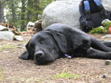Portrait of a Pet Dog Resting Near a Backpack During a Hike in the Wind River Range Photographic Print by Michael Forsberg