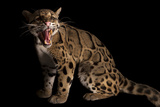 A Clouded Leopard, Neofelis Nebulosa Photographic Print by Joel Sartore