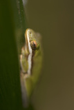 A Green Tree Frog Hides at Kissimmee Prairie Preserve State Park Photographic Print by Joel Sartore