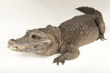 A Federally Endangered West African Dwarf Crocodile at the Lincoln Children's Zoo Photographic Print by Joel Sartore