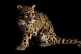 A Federally Endangered Clouded Leopard, Neofelis Nebulosa Photographic Print by Joel Sartore